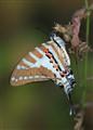 Spot Swardtail
