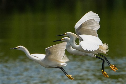 Snowy Egrets (Egretta thula) in Flight