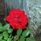 Red Rose in June