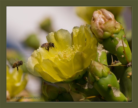 Bees & Cactus Flowers_(web-P5201341)
