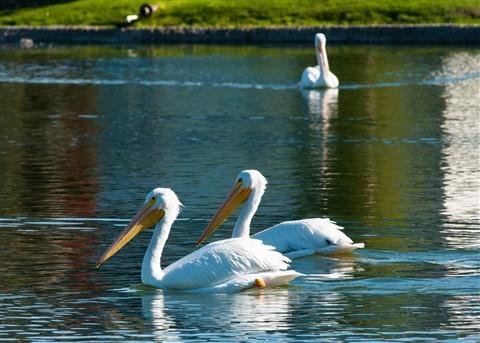 White Pelican 009