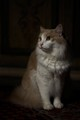 Noble House-Cat