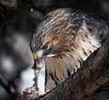 Red tailed hawk consuming a mouse