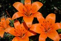 orange tiger lillies