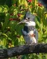 Belted Kingfisher in Kansas