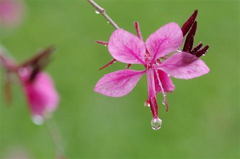 Westringia flowers  in the rain