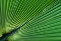 Palm leaf (2)