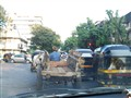 Cow Cart in Traffic Signal
