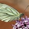 Small White Butterfly: (Pieris rapae)