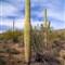 3a_saguaros