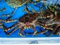 Korean Giant Crab