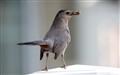 Catbird (3)