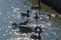 Geese and Ducks in School Pond