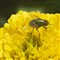 Fly on a Yellow Flower