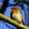 Robin 1 Nov13