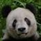 Chongquig_Pandas-1050074