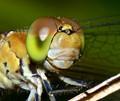 Tau Emerald Dragondfly