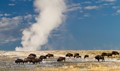 Plains Bison (Bison bison bison) herd in Lower Geyser Basin