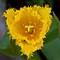 Yellow flower  _MG_0244