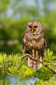 Barred Owl - Lake Martin, LA