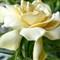 Gardenia # 3