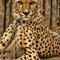 IMG_3568_Cheetah