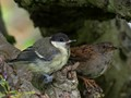 Gt. Tit and Dunnock Fledglings resting together