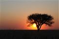 Botswana Lone Tree