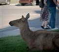 elk in the parking lot (1 of 1)