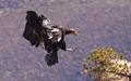 Condor 74 landing at the Grand Canyon