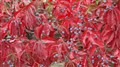 Red leaves sample