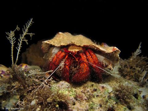 Hermit Crab - Manado, Indonesia