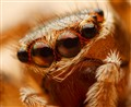 Jumping Spider 04