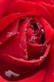 Refreshing rose