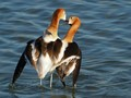 Romance among Avocets