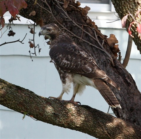 Cropped pic of hawk
