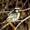 acasia_piped-barbet21sep13