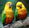 Two Little Love Birds