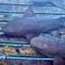 Nursing sharks - Bahamas