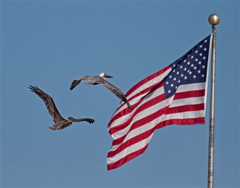 Stars, Stripes and Pelicans