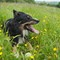 Collie in buttercups