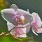 orchid 001