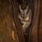 Scops Owl Redo