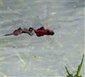 Dragonfly Two-step