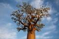Avenue of the Baobabs, Route Nationale 8 Between Tsiribihina River and Morondava, Madagascar.