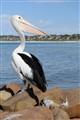 Pelican @ Kangaroo Island