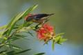 Scarlet Backed Flower Pecker