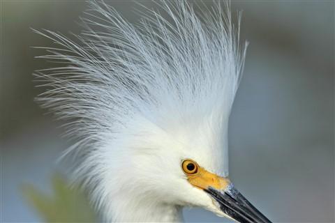 Snnnowy Egret