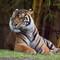 Tiger-033557