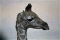 Rothschild giraffe: Vincek